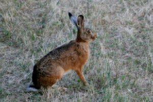 IMG_5525 (2cal hare)